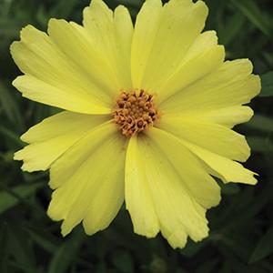 Coreopsis Big Bang Full Moon - Coreopsis hybrida -  lg pot